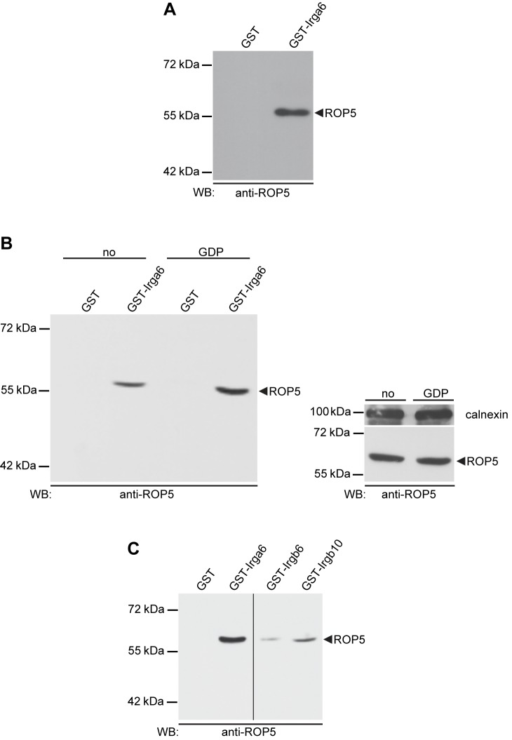 IRG proteins bind T . gondii virulent strain-derived ROP5 in vitro. Glutathione Sepharose 4B beads loaded at 50 µg protein/100 µl 1∶1 bead suspension with bacterially expressed GST-IRG fusion proteins as bait were incubated at 4°C o/n with whole postnuclear lysates from RH-YFP strain T. gondii . Beads loaded with GST served as negative control. Bound proteins were separated by SDS-PAGE and monoclonal antibody 3E2 was used for detection of ROP5 in subsequent Western blot analysis. (A) In vitro pull-down of ROP5 with bacterially expressed and purified GST-Irga6. A single lysate, equivalent to 50×10 6 organisms per track, was used for GST-Irga6 and GST alone control beads (B) pull-down of ROP5 by Irga6 was markedly enhanced in the presence of 1 mM GDP (left hand blot). Lysates with and without GDP, equivalent to 25×10 6 organisms per track, were prepared from a single batch of T. gondii ; the right hand blot shows equal ROP5 signals from the supernatants of the pull-downs with GST alone with or without nucleotide. T. gondii calnexin provided the loading controls. (C) GST-Irgb6 and GST-Irgb10 also pulled down ROP5, though more weakly than GST-Irga6. One lysate, equivalent to 50×10 6 organisms per track, was used. All four tracks were run on a single gel; the vertical line indicates excision of irrelevant tracks.