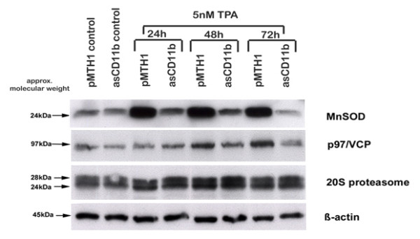 Zymographic assay of gelatinase activity. Medium supernatants of 20 ml culture medium (medium control) as well as 20 ml conditioned medium from 10 7 U937 cells, pMTH1-U937 cells and asCD11b-U937 cells in the absence or presence of 5nM TPA for 72 h, respectively, were 18-fold concentrated and subjected to SDS-PAGE containing 2 mg/ml of gelatine. Following incubation with MMP enzyme buffer, the gels were stained with 0.4% Coomassie blue and afterwards destained again to visualize the appearance of gelatinase activity by light bands against the dark background. The molecular weight markers on both sides of the gels indicate the size of the MMPs exhibiting gelatinase activities.