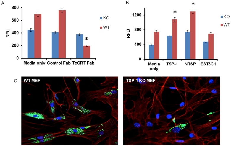 Roles of TcCRT and TSP-1 in cellular infection. A , TcCRT Fab blocks trypanosome cellular infection . Transgenic T. cruzi trypomastigotes expressing GFP were pretreated with either monovalent Fab fractions of anti-TcCRT or with monovalent Fab fractions of an isotype control and exposed to either WT or TSP-1 KO MEF for 72 hours. The infection was determined fluorimetrically. B , TSP-1 and NTSP enhance trypanosome infection but not E3T3C1. Pre-incubation of transgenic T. cruzi trypomastigotes expressing GFP with endotoxin free TSP-1 or NTSP enhances cellular infection of WT MEF compared to TSP-1 KO MEF. Pre-incubation of transgenic T. cruzi trypomastigotes expressing GFP with endotoxin free E3C3T1 does not significantly affect cellular infection of WT or TSP-1 KO MEF. Bars represent the means of results from triplicate samples of one representative experiment (±1 S.D.) selected from three independent experiments with similar results. *Significant differences between WT and KO MEF (P