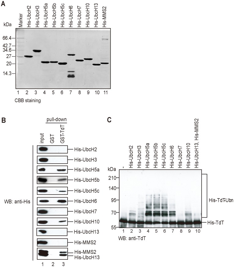 UbcH5a or UbcH6 directly binds to TdT and E3-independently ubiquitylates TdT in vitro . (A) Ten E2 enzymes were subjected to SDS-PAGE and stained by CBB. (B) Binding between TdT and E2 enzymes in vitro . Ten purified recombinant His-E2 enzymes were incubated with GST- (lane 2), GST-TdT (lane 3) bound Glutathione Sepharose 4B. Proteins bound to the beads were eluted with Laemmli buffer after boiling. The eluates were subjected to SDS-PAGE and detected by immunoblotting using an anti-His antibody. (C) E3-independent TdT ubiquitylation was carried out by 10 E2 enzymes. The substrate His-TdT was incubated with His-Ub, His-UBE1, and His-tagged E2 as indicated (lanes 2–10). After electrophoresis in a denaturing 7.5% polyacrylamide gel, ubiquitylated TdT was detected using an anti-TdT antibody.