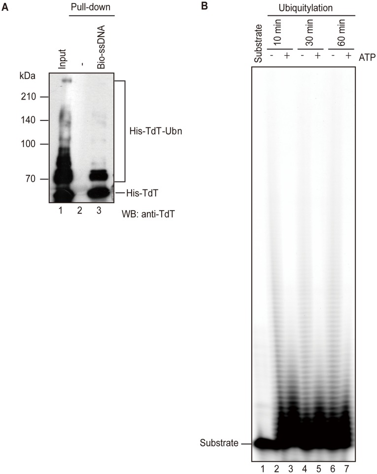 TdT ubiquitylation inhibits its nucleotidyltransferase activity. (A) Ubiquitylation of TdT does not effect its DNA-binding property. His-TdT (180 ng) was incubated in the reaction in vitro ubiquitylation mixture with (lane 3) or without (lane 2) biotinylated ssDNA coupled to streptavidin–agarose. The proteins that bound to DNA were subjected to immunoblot analysis using an anti-TdT antibody. (B) Primer extension assay. GST-TdT bound Glutathione Sepharose 4B was added to the ubiquitylation reaction mixture and then incubated with (lanes 2, 4, and 6) or without (lanes 3, 5, and 7) ATP, for the indicated times. After washing, primer extension was performed in reaction mixture containing the Cy5-labeled 20-mer oligo-dT. After 8% SDS page, the products were visualized on a Typhoon 9200 Gel Imager (GE Healthcare).