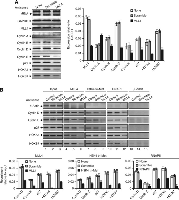 MLL4 regulates cell-cycle regulatory cyclins, p-protein and HOX genes. SW480 cells were transfected with MLL4 antisense for 48 h and the subjected to RNA extraction or ChIP assay. ( A ) RNA from MLL4-knocked down or control cells analysed by RT–PCR by using primers specific to selected cell-cycle regulatory genes ( cyclin A–E , p27 , HOXA5 and HOXB7 ) and GAPDH. GAPDH expression and rRNA levels were used as loading control. ( B ) ChIP assay: MLL4 and scramble antisense-treated and control cells were subjected to ChIP with MLL4, H3K4 tri-methyl, RNAPII and β -actin (control) antibodies. The immunoprecipitated DNA fragments were PCR amplified by using primers specific to the β -actin (ORF, as control) and promoters of cyclin B , cyclin D , p27 , HOXA5 and HOXB7 genes. The real-time quantification is on the bottom panel. Bars indicate standard errors ( n =3).