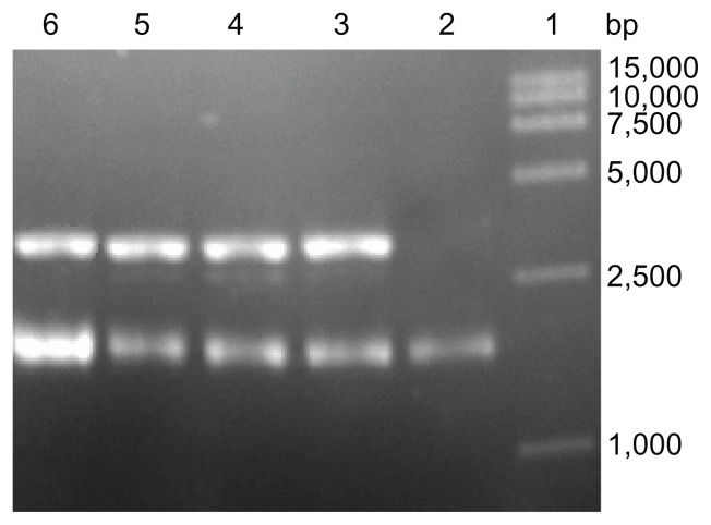 Topological inactivation activities. Lane 1: DNA marker; Lane 2: pUC18 DNA as a control; Lane 3 and 4: pUC18 DNA was incubated with α-MMC, PEG-α-MMC; Lane 5 and 6: pUC18 DNA was incubated with MAP30, PEG-MAP30.