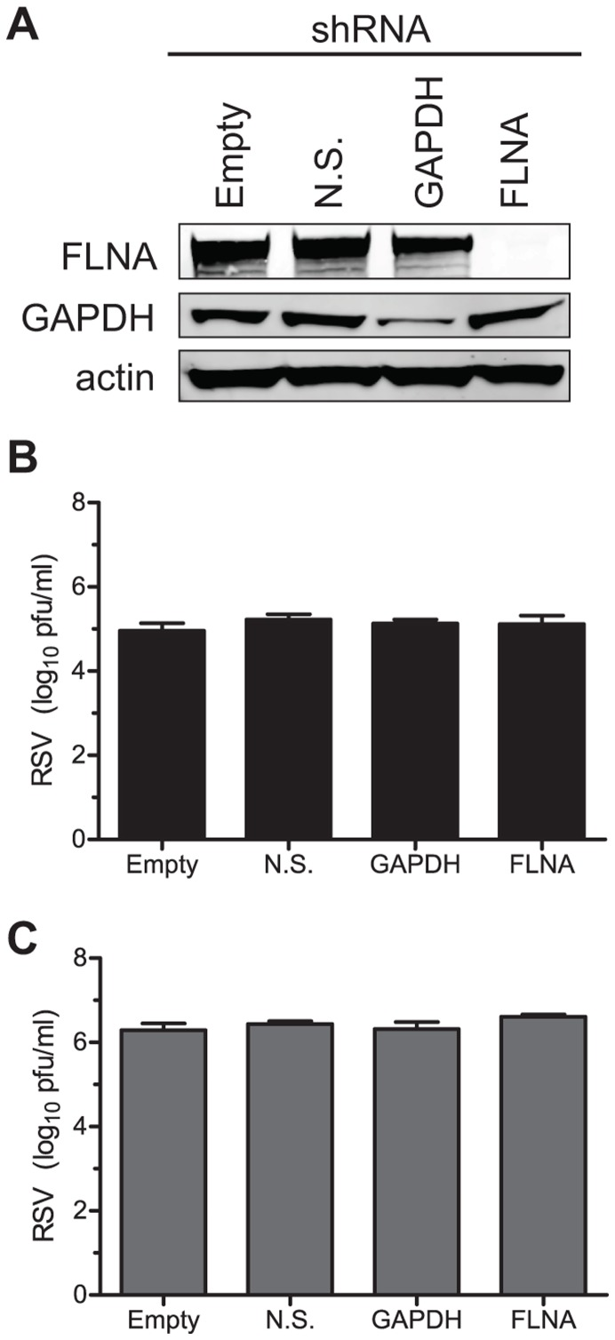 Viral titers in FLNA knockdown cells. <t>HEp-2</t> cells were transduced with a lentivirus encoding an shRNA directed against the indicated protein. After selection, cell lysates were harvest and immunoblotted for the presence of filamin A, GAPDH, or actin (A). The same cells then were infected with <t>RSV</t> stain A2 at an MOI = 0.05 for 72 hours. Both cell-associated (B) and supernatant virus (C) yields were quantified by a plaque assay.