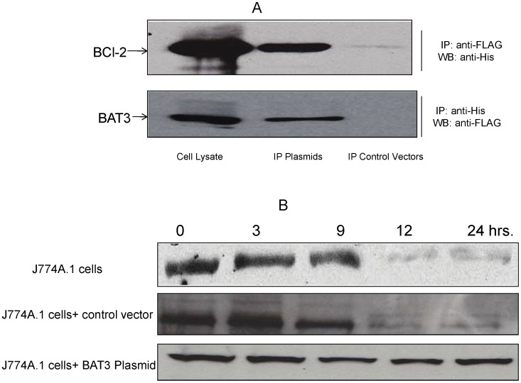Interaction of BAT3 with BCL-2 and expression of BCL-2 in ESAT-6 stimulated J774A.1 cells. A. J774A.1 cells were co-transfected with FLAG-tagged BAT3 plasmid and HIS-tagged BCL-2 plasmid or control vectors and incubated with ESAT-6. Cytoplasmic extracts of the cells were subjected to immunoprecipitation (IP) with antibodies against FLAG peptide or HIS tag, followed by western blotting with respective antibodies as indicated. Total 25 µg of each protein sample was loaded in 12% SDS-PAGE gel for the development of western blot. Upper panel: IP with anti-FLAG antibody and western blot with anti-HIS antibody. The molecular weight of BCL-2 was ∼25 kDa. Lower panel: IP with anti-HIS antibody and western blot with anti-FLAG antibody. The molecular weight of BAT3 was ∼122 kDa. Whole cell lysates of the J774A.1 cells expressing recombinant BAT3 and BCL-2 proteins served as positive control for the western blotting. B. Upper panel: J774A.1 cells were incubated with 5 µg/ml of ESAT-6 and cytoplasmic extracts were collected at different time points. Total protein concentration of different fractions was determined and equal amounts of proteins (25 µg) were loaded on an SDS-PAGE gel. Following electrophoresis and western blotting, the blot was developed using a mouse monoclonal antibody against BCL-2 protein. J774A.1 cells were either transfected with BAT3 plasmid (lower panel) or control vector (middle panel) for 72 hours, incubated with ESAT-6 and cytoplasmic extracts were collected at different time points. Western blots were developed for the BCL-2 protein as described earlier.