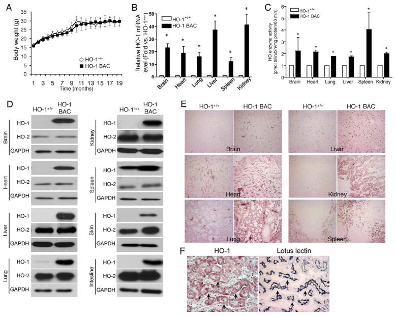 HO-1 protein and mRNA are overexpressed in organs of HO-1 BAC transgenic mice (A) Average body weights of HO-1 BAC mice (n=5, solid square) and HO-1 +/+ mice (n=4, open diamond) that were monitored for 19 months. (B) Total RNA was isolated from indicated organs and HO-1 mRNA expression level was quantified using real-time PCR. GAPDH was used to normalize HO-1 mRNA levels. Results are shown as fold-increase versus HO-1 +/+ from 3 independent experiments performed in triplicate each time (Mean ± SEM). * p