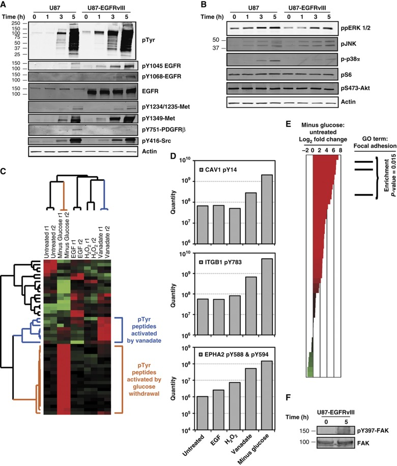 Phospho-proteomics reveals that glucose withdrawal induces a distinct signature of phospho-tyrosine signaling that is associated with focal adhesions. ( A , B ) Following glucose and pyruvate starvation of U87 and U87-EGFRvIII for the indicated times, western blotting revealed activation of some but not all signaling pathways following glucose withdrawal. (A) Phospho-specific antibodies against tyrosine residues demonstrated significantly increased phosphorylation of RTKs, including <t>EGFR,</t> Met, and PDFGRβ. The non-RTK Src also showed increased active site phosphorylation. Total EGFR and actin served as equal loading controls. (B) Phospho-specific antibodies revealed increased glucose withdrawal-induced activity of all MAPK pathways tested (ppERK 1/2, pJNK and p-p38α) but not mTOR signaling (pS235/S236-S6) or <t>Akt</t> signaling (pS473-Akt). ( C – E ) Glucose withdrawal induces a signature of hyper-phosphorylation in U87 that is associated with focal adhesions. (C) Hierarchical clustering of tyrosine phosphorylation in U87 cells reveals that glucose withdrawal induces a distinct set of phospho-events. U87 cells were treated with four stimuli known to induce tyrosine phosphorylation, including (a) EGF stimulation (10 ng/ml, 5 min), (b) vanadate treatment (1 mM, 60 min), (c) H 2 O 2 (5 mM, 30 min) and (d) glucose and pyruvate withdrawal (3 h). Changes in phospho-tyrosine signaling were measured by quantitative, label-free mass spectrometry ( Rubbi et al, 2011 ) and data were hierarchically clustered. Each row of the heatmap depicts an individual phosphorylation event, and each column represents a sample as labeled. In the heatmap, red and green represent normalized levels of high and low phosphorylation, respectively. Samples were measured in technical duplicate (r1 and r2). Branches of the dendrogram associated with upregulation by glucose withdrawal and vanadate treatment are colored orange and blue, respectively. See Supplementary Table 1 for quantitative pho