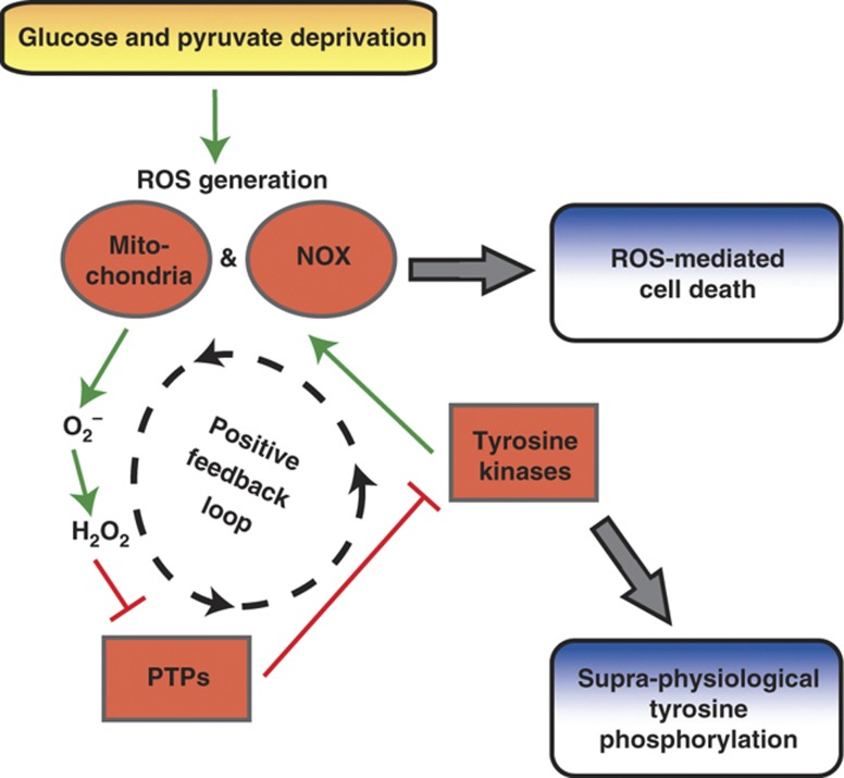 Glucose withdrawal activates a positive feedback loop resulting in supra-physiological phospho-tyrosine signaling and ROS-mediated cell death. In cells dependent on glucose for survival, glucose and pyruvate deprivation induces oxidative stress driven by NOX and mitochondria. This oxidative stress provokes a positive feedback loop in which NOX and mitochondria generate superoxide anion (O 2 − ), which dismutes to hydrogen peroxide (H 2 O 2 ) and inhibits PTPs by oxidation (e.g., PTP-1B and PTEN). Without the negative regulation of PTPs, TKs including EGFR and Src activate NOX at focal adhesions, further amplifying ROS generation. This glucose withdrawal-induced positive feedback loop results in supra-physiological levels of tyrosine phosphorylation and ROS-mediated cell death.