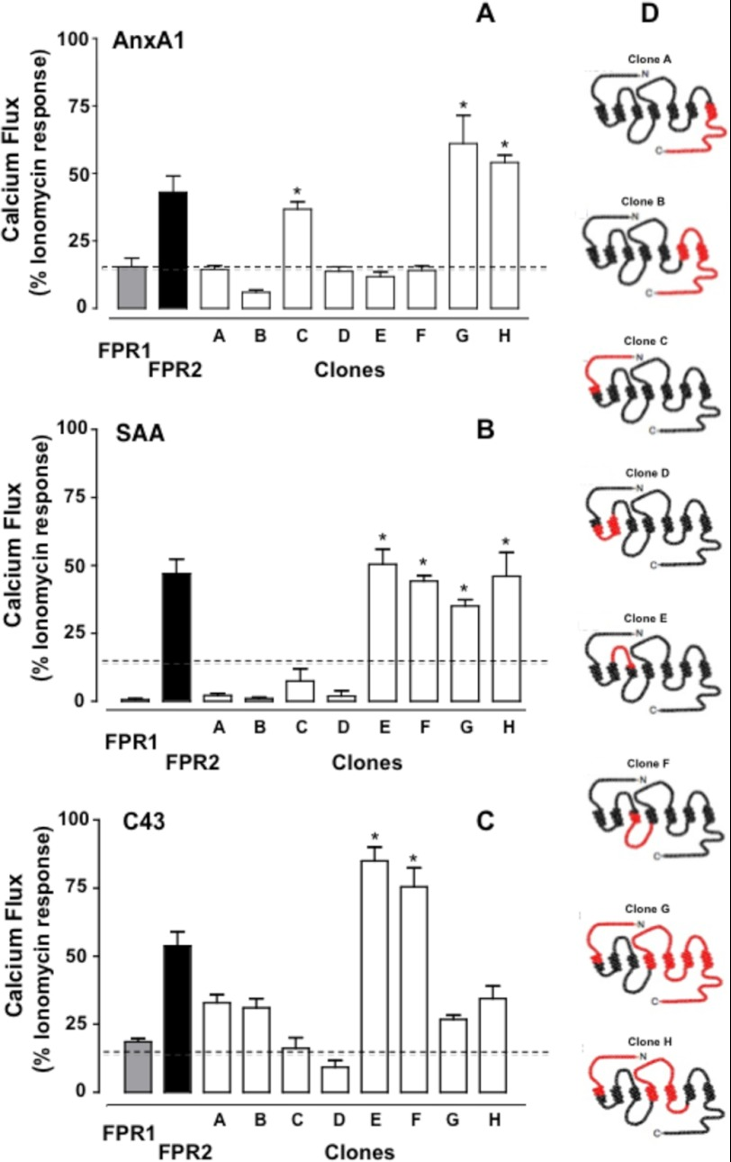 Clone-specific calcium mobilization induced by AnxA1, SAA, and C43. HEK293 cells expressing native and chimeric clones were treated with AnxA1 (10 n m ; A ), SAA (0.1 μ m ; B ), or C43 (1 μ m ; C ) (concentrations selected from Fig. 1 ). Dashed lines indicate the degree of response produced with control CMV empty plasmid-transfected HEK293 cells in the presence of the respective ligand. Data (means ± S.E. of more than three distinct experiments done in triplicate) are reported as percent ionomycin (1 μ m ) response. Asterisks indicate similarity in responses between each clone (as indicated) and native FPR2/ALX-transfected cells. FPR1-FPR2/ALX clones are represented, with the part of the FPR2/ALX receptor insert ( red ) in the FPR1 structure ( black ) ( D ).