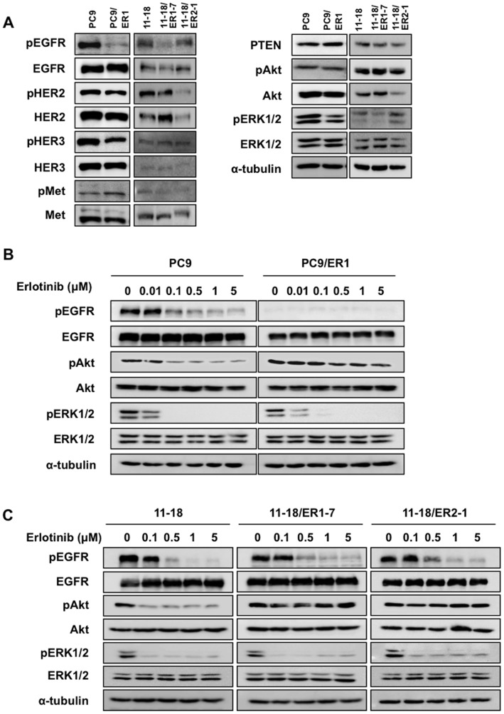 Comparison of protein expression of EGFR family proteins and the down-stream molecules in erlotinib-resistant cell lines in the absence or presence of erlotinib. A, Western blot analysis showing the expression of pEGFR, EGFR, pHER2, HER2, pHER3, HER3, pc-Met, c-Met, PTEN, pAkt, Akt, pERK1/2, and ERK1/2 proteins, and α-tubulin as a loading control. B, Exponentially growing PC9 and PC9/ER1 cells were exposed to various doses of erlotinib for 5 hr, and followed by Western blot analysis. C, Exponentially growing 11–18, 11–18/ER1-7, and 11–18/ER2-1 cells were exposed to various doses of erlotinib for 5 hr, and followed by Western blot analysis.
