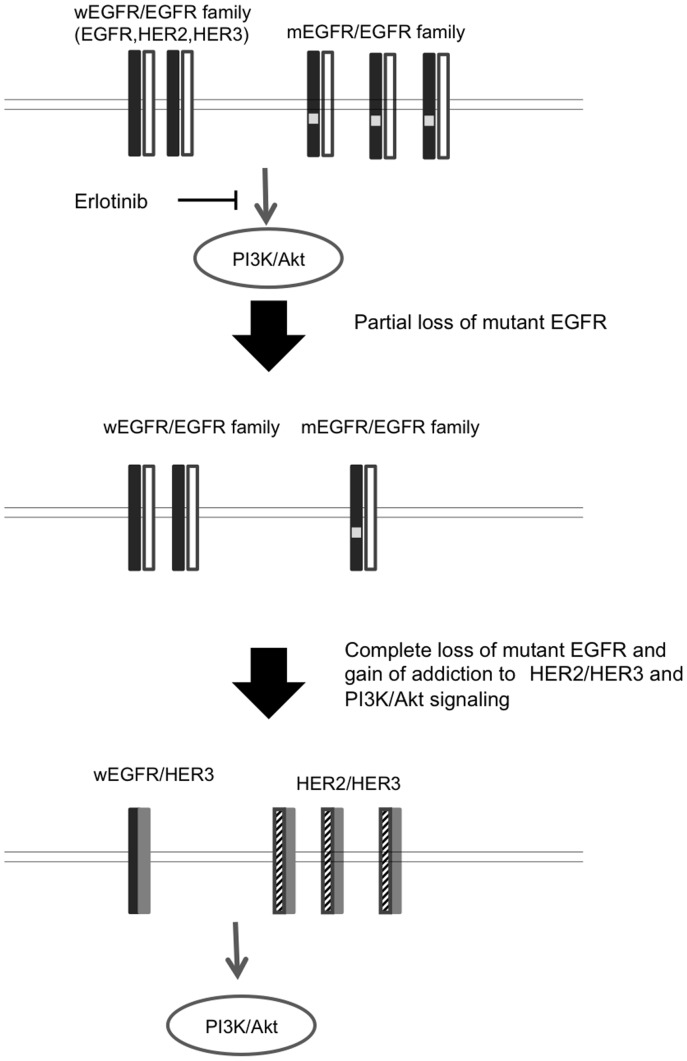 Our hypothetic model how drug resistance to erlotinib is acquired in lung cancer cells harboring activated mutant EGFR (mEGFR). Cell proliferation and survival of human lung cancer cells harboring activated mutant EGFR (PC9 and 11–18 cells) closely depend upon EGFR-driven PI3K/Akt pathway, and this proliferation/survival is highly susceptible to erlotinib and other EGFR TKIs. First, there is partial or complete loss of mEGFR gene allele in drug-resistant cell lines, and then gain of addiction to HER2/HER3 and PI3K/Akt signaling (PC9/ER1 cells). However, more definitive analysis on resistant cell lines of 11–18 is required because 11–18 resistant cell lines show only partial loss of mEGFR.