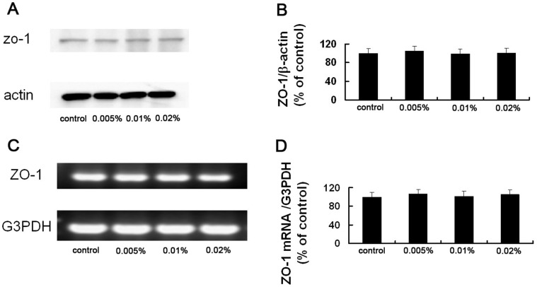 Acute effect of BAC on the expression of ZO-1 mRNA and protein in the rabbit corneal epithelium. (A) Corneal epithelial cells isolated from a control eye or from eyes treated with 0.005%, 0.01% or 0.02% BAC were subjected to western blot analysis with antibodies to ZO-1 or <t>β</t> actin (loading control). (B) Qutantitative analysis of ZO-1 band intensity in bolts similar to those shown in (A). Data were normalized by the corresponding β actin band intensity and mean ± SE of values from three eyes per group. (C) Corneal epithelial cells isolated from a control eye or from eyes treated with 0.005%, 0.01% or 0.02% BAC were subjected to RT-PCR analysis of ZO-1 mRNA. (D) Quantitative analysis of ZO-1 band intensity in gel similar to that shown in (A). Data were normalized by the corresponding G3PDH band intensity and are mean±SE of values from three eyes per group. Topical application of BAC had no significant effect on the amount of ZO-1 mRNA and protein (Dunnett test).