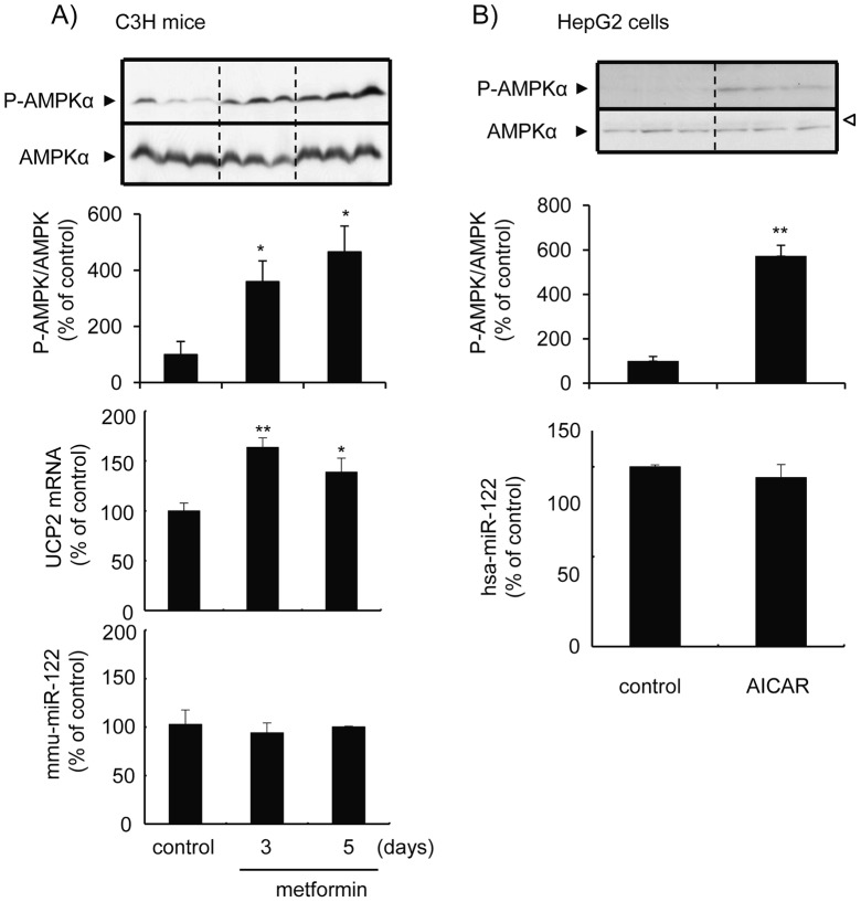 AMPK activation does not cause a miR-122 down-regulation. A , Mice were treated with metformin (250 mg/kg, ip. ) twice a day at a 12 h-interval for 3 days or 5 days and were sacrificed 12 h after the final treatment. Activated and total AMPK levels in the liver of mice were determined by Western blot analysis using anti-phospho-AMPKα (Thr 172) and AMPKα specific antibodies, respectively (the top panel). Levels of phospho-AMPKα was normalized with respective AMPKα and are illustrated as the % of control group (the second panel). <t>UCP2</t> mRNA (the third panel) and miR-122 (the last panel) levels were determined by the quantitative RT-PCR, were normalized with β-actin and the U6 snRNA, respectively, and are illustrated as the % of control group. *, p
