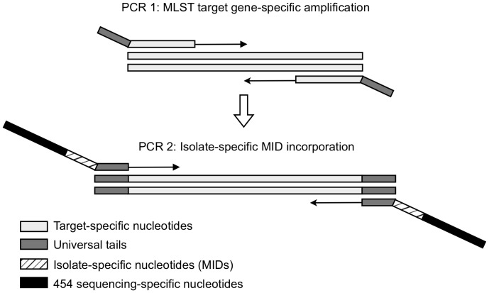 Two-Step PCR strategy for HiMLST. During the first PCR, the targeted MLST gene is amplified and universal tails are incorporated. During the second PCR, the amplicons of each isolate are provided with 454 sequencing-specific nucleotides and a unique DNA barcode, the multiplex identifier (MID).