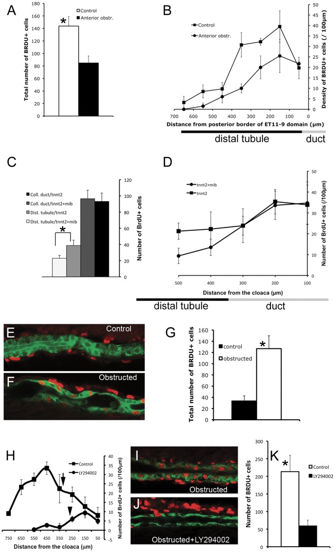 Collective epithelial migration stimulates cell proliferation in the distal tubule. (A, B) Cell proliferation in the distal tubule (ET11-9 GFP domain) after anterior obstruction. Obstruction was induced at 30 hpf, BrdU incorporation was assessed between 2 and 3 dpf. (A) Total number of BrdU+ nuclei in the distal ET11-9 domain. White bar: control (n = 4), black bar: anterior obstruction (n = 4). P = 0.01. (B) Spatial distribution of the BrdU-positive nuclei per 100 µm length of the distal tubule (measured from the posterior border of the ET11-9 domain). Squares: control (n = 4), Circles: anterior obstruction (n = 4). (C,D) Cell proliferation in the distal nephron in mindbomb mutants. mindbomb ( mib ) heterozygotes were in-crossed and injected with tnnt2 morpholino to control for vascular defects in mib mutants. BrdU incorporation was assessed between 2 and 3 dpf. Homozygous mib mutants were separated from their siblings based on their axis curvature phenotype. (E) Total amount of BrdU incorporation in pronephric duct (black bar: control, n = 8; dark-grey bar: mindbomb , n = 8; P > 0.05) and in the posterior distal tubule (light grey bar: control, n = 8; white bar: mindbomb , n = 8; P