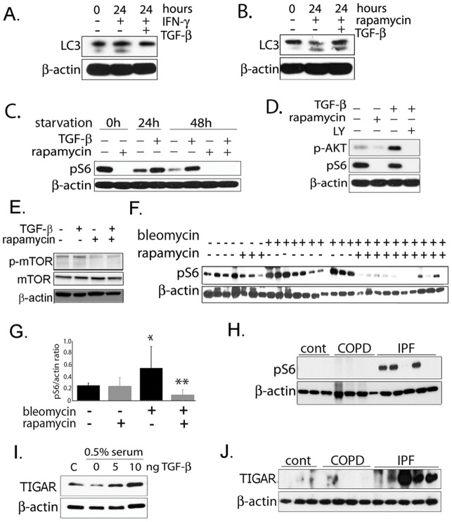 <t>TGF-β</t> 1 activates mTOR and <t>TIGAR.</t> A) In human lung fibroblasts, TGF-β 1 inhibits LC3-II formation, even in the presence of IFN-γ which induces autophagy. B) TGF-β 1 is unable to inhibit LC3-II formation in presence of mTOR inhibitor rapamycin. C) TGF-β 1 is able to activate mTORC1 which results in increased phospho-S6 but this activation does not occur in the presence of rapamycin. D) TGF-β 1 appears to activate mTORC1 by activating upstream PI3K/AKT and treatment with PI3K inhibitor LY294002 prevents TGF-β 1 induced mTOR activation. E) Western blot of phospho-mTOR (Ser2448) showing increased phospho-mTOR with TGF-β 1 in fibroblasts and inhibition by rapamycin. F) Western blot of phospho-S6 from mouse lung tissue treated with bleomycin and rapamycin. G) Densitometry of blot from 4E. (*p = 0.03 for controls vs. bleomycin, **p = 0.003 for bleomycin vs rapamycin + bleomycin). H) phospho-S6 protein levels in human lung tissue is higher in IPF patients compared with COPD patients and healthy controls. I) TIGAR is induced by TGF-β 1 in fibroblasts in a dose-responsive manner. J) Western blot demonstrating TIGAR protein levels in lung homogenate from human tissue is higher in IPF patients compared with COPD patients and healthy controls.