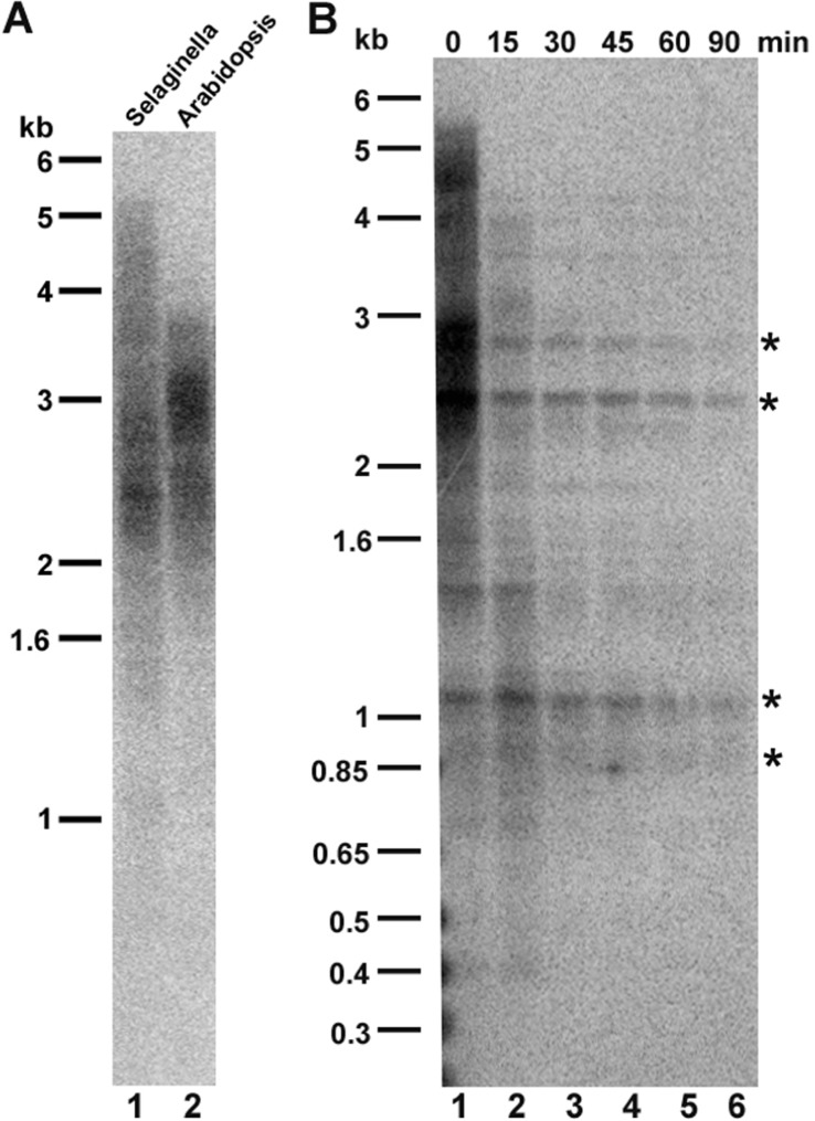 Telomere length analysis in Selaginella moellendorffii . (A) Comparative terminal restriction fragment (TRF) analysis of S. moellendorffii (lane 1) and A. thaliana (lane 2) telomeres. Molecular weight markers are shown on the left. (B) Bal 31 digestion of S. moellendorffii telomeric DNA. Lane 1, <t>Tru</t> 1I digestion of genomic DNA without prior Bal treatment (0 min). Lanes 2–6, Tru 1I digestion of genomic DNA with Bal 31 tr31eatment for 15, 30, 45, 60, and 90 min, respectively. Asterisks indicate cross-hybridizing interstitial telomeric DNA bands, which are not sensitive to Bal 31 digestion for up to 90 min.