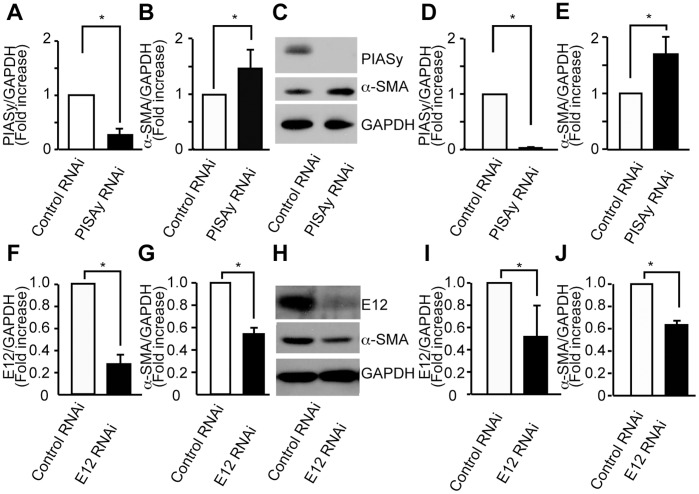 Effect of siRNA specific for PIASy and E12 in α-SMA regulation in MCs. (A) PIASy mRNA and protein were reduced by transfection of siRNA against PIASy in mouse MCs. Gene expression of PIASy was examined by quantitative RT-PCR using mRNA of MCs transfected with siRNA against PIASy or control siRNA (20 nM). (B) α-SMA mRNA expression was increased by transfection of siRNA against PIASy. (C) Western blots of MCs transfected with siRNA against PIASy or control siRNA. (D and E) Optical densitometry of PIASy and α-SMA in immunoblotting. (F) E12 mRNA and protein were reduced by transfection of siRNA against E12 in mouse MCs. Gene expression of E12 was examined by quantitative RT-PCR using mRNA of MCs transfected with siRNA against E12 or control siRNA (10 nM). (G) α-SMA mRNA expression was suppressed by transfection of siRNA against E12. (H ) Western blot analysis of MCs transfected with siRNA against E12 or control siRNA. (I and J) Optical densitometry of E12 and α-SMA in immunoblotting. Means of four independent experiments are shown. The results were presented as the fold-increase or decrease compared with the values of cells transfected with control siRNA. GAPDH, glyceraldehyde-3-phosphate dehydrogenase. *P