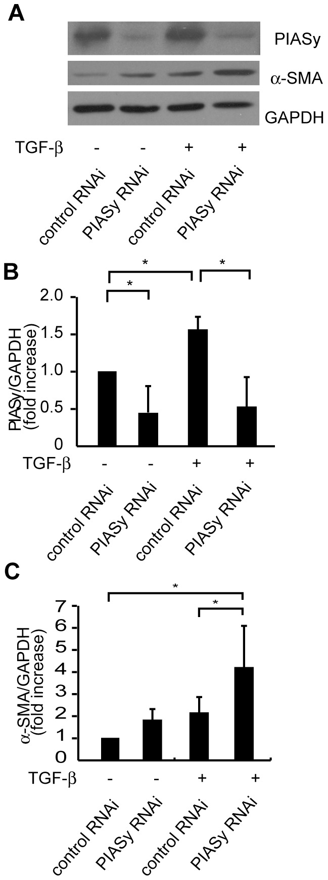 Effect of siRNA specific for PIASy on TGF-β mediated α-SMA expression in mesangial cells. (A) Mouse MCs were transfected with siRNA against PIASy or control siRNA. 12 hours after the transfection, MCs were serum-starved in starving medium (0.5% bovine serum albumin/DMEM) for 36 h. MCs were then stimulated with TGF-β (1 ng/ml) for 24 hours. Total cell lysates were examined by Western blot analysis using anti-PIASy and anti-α-SMA antibodies. Representative data from three independent experiments is shown. (B and C ) Optical densitometry of PIASy and α-SMA in Western blotting. The values of PIASy, E12 and α-SMA were normalized for that of GAPDH and compared with the values of cells transfected with control siRNA. GAPDH, glyceraldehyde-3-phosphate dehydrogenase. *P