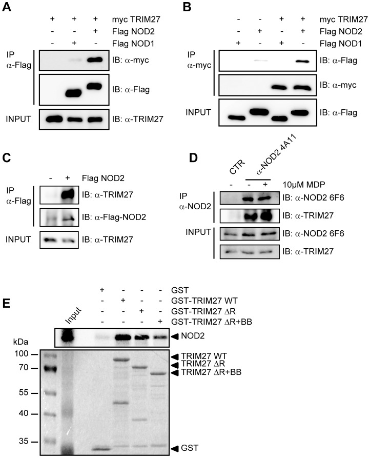 NOD2 physically interacts with TRIM27 via the NBD domain. A–C) Lysates of HEK293T cells expressing the indicated proteins were subjected to immunoprecipitation using anti-Flag (A and C) or anti-myc beads (B). Immunoblots of immunoprecipitates (IP) and total lysates (Input) were performed using the indicated antibodies. D) Immunoprecipitation of endogenous NOD2 from SW480 cells using the NOD2- specific monoclonal antibody 6F6. Cells were treated with 10 µM MDP for 3 h as indicated. Immunoblots of immunoprecipitates (IP) and total lysates (Input) were performed using the indicated antibodies. E) Protein-protein binding assays using in vitro transcribed and translated [35S]-methionine-labeled NOD2 and recombinant GST or GST-TRIM27 (WT, ΔRING or ΔRING+B-Box) bound to glutathione-Sepharose beads. The coomassie-stained gel (bottom) and the autoradiograph (top) of co-precipitated NOD2 are shown.