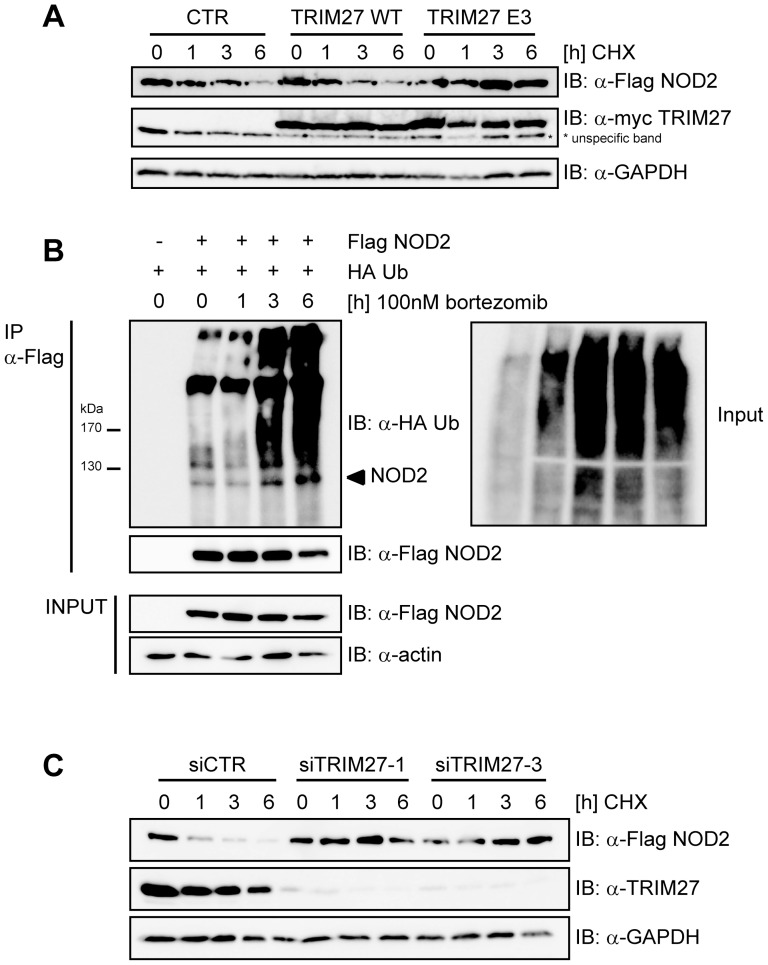 TRIM27 contributes to proteasomal degradation of NOD2. A) HEK293T cells transfected with low amounts of Flag-NOD2 and myc-TRIM27, E3 or CTR as indicated were treated with 30 µg/ml cycloheximid (CHX) and immunoblots of total cell lysates (top) were performed using the indicated antibodies. GAPDH served as loading control. B) HEK293T cells expressing the indicated proteins were treated with 100 nM bortezomib. Lysates were subjected to immunoprecipitation as described in Figure 1A . Actin served as loading control. C) HEK293T cells transfected for 48 h with siCTR, siTRIM27-1 or -3 and subsequently with Flag-NOD2 were treated with 30 µg/ml CHX, as indicated. Immunoblots of total cell lysates were performed using the indicated antibodies. GAPDH served as loading control. Representative data of at least three independent experiments are shown (see also Fig. S3B ).
