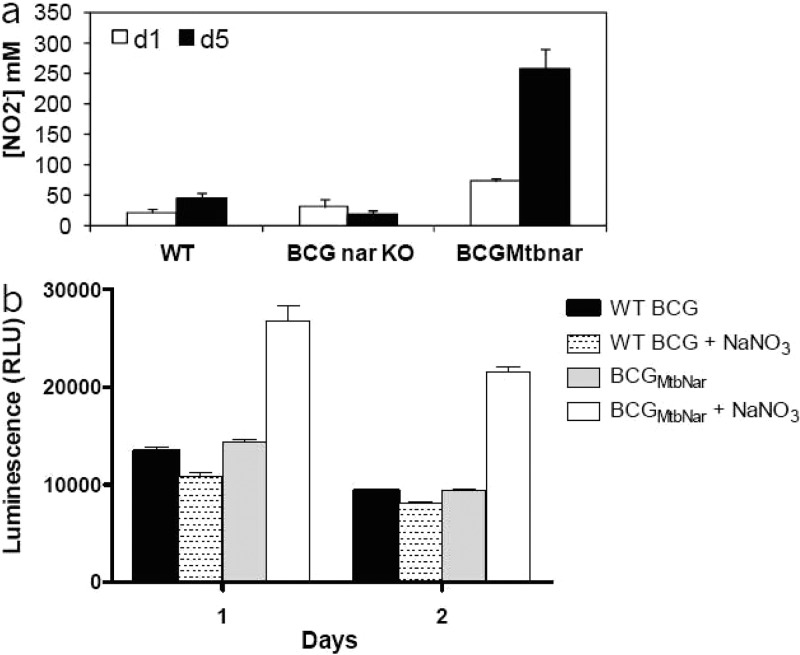 Complementation of M. bovis BCG with narGHJI cluster gene from M. tuberculosis enhanced nitrate reductase activity and ATP levels in the hypoxic shift down model. (a) Production of nitrite in culture by M. bovis BCG wild type (WT), M. bovis BCG narGHJI KO strain (BCG nar-KO ), and M. bovis BCG complemented with M. tuberculosis narGHJI (BCG MtbNar ) at days 1 and 5. (b) Intracellular ATP production measured for M. bovis BCG WT and M. bovis BCG MtbNar complemented strains at day 1 and 2 upon methylene blue decolorization in the absence or presence of 20 mM sodium nitrate (NaNO 3 ). Results are expressed as the means ± SD of triplicates.