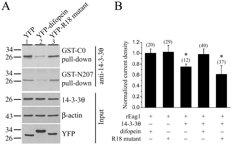 Reversal of the 14-3-3θ suppression of rEag1 K + currents by the 14-3-3 antagonist difopein. ( A ) GST pull-down assay of the cell lysates prepared from HEK293T cells over-expressing the YFP vector, YFP-difopein, or YFP-R18 mutant. Pull-down products were detected by immunoblotting with the anti-14-3-3θ antibody. Compared to the vector control ( lane 1 ), introduction of difopein ( lane 2 ) resulted in a 75% and 64% reduction in the amount of 14-3-3θ pull-down by the GST-C0 and GST-N207 fusion proteins, respectively. In contrast, no significant difference was observed in the presence of the inactive mutant control ( lane 3 ). ( B ) Normalized mean K + current density recorded from HEK293 cells stably expressing rEag1 channels. As indicated, these stable cell lines were subject to transient transfection with various cDNA constructs. The mean current density at +40 mV for each co-expression condition was normalized with respect to that of the co-expression of rEag1 and difopein. The numbers in the parentheses refer to the number of cells analyzed, and the asterisk denotes significant difference from the rEag1-difopein co-expression control (*, t -test: p