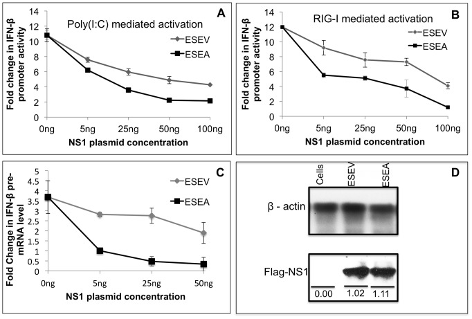 ESEV PBM impairs NS1 inhibition of IFN-β promoter activation. A) Cultures of A549 cells were transfected in duplicate with indicated amounts of NS1 expression plasmids (containing inactivated CPSF30 binding site), IFN-β promoter Luciferase plasmid, and Renilla Luciferase plasmid. At 24 hours post-transfection, cells were re-transfected with poly(I:C) and Luciferase expression was measured 20 hours later. Luciferase expression from the IFN-β promoter plasmid was normalized to Renilla Luciferase expression. Error bars represent the standard error of the mean from three independent experiments, with each experiment containing duplicate samples. B) Cultures of A549 cells were co-transfected in duplicate with indicated amounts of NS1 expression plasmids (containing inactivated CPSF30 binding site), IFN-β promoter Luciferase plasmid, Renilla Luciferase plasmids and, full-length RIG-I expression plasmid. Luciferase expression from the IFN-β promoter plasmid was normalized to Renilla Luciferase expression. Error bars represent the standard error of the mean from three independent experiments, with each experiment containing duplicate samples. Statistical differences in effects of NS1 plasmids were determined by student t-test in all the experiments. C) Cultures of A549 cells were transfected in duplicate with indicated amounts of NS1 expression plasmids (containing intact CPSF30 binding site). At 24 hours post-transfection, cells were re-transfected with poly(I:C) and 24 hours later total RNA isolated and RT-PCR assays were performed for IFN-β pre-mRNA as described in Methods . IFN-β pre-mRNA levels were normalized to GAPDH mRNA levels. Error bars represent the standard error of the mean from three independent experiments, with each experiment containing duplicate samples. D) A549 cells were transfected with 500 ng of wt or ESEA mutant NS1 expression plasmids (containing inactivated CPSF30 binding site). Cell extracts were prepared 48 hours later and expression levels of th