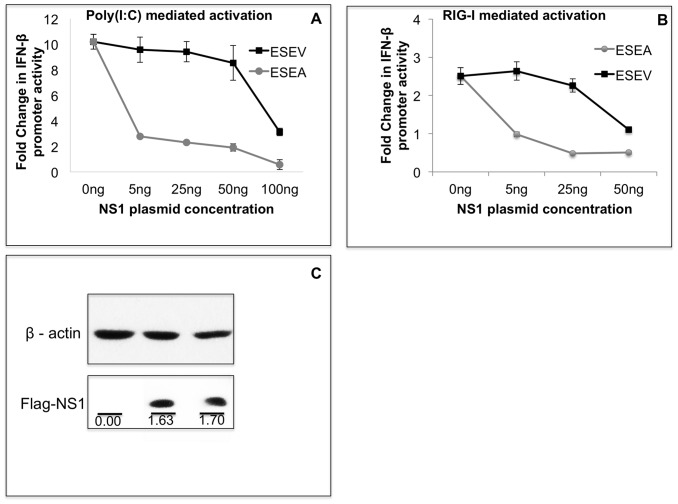 ESEV PBM with intact CPSF30 binding site impairs NS1 inhibition of IFN-β promoter activation. A) Cultures of A549 cells were transfected in duplicate with indicated amounts of NS1 expression plasmids (containing intact CPSF30 binding site), IFN-β promoter Luciferase plasmid, and Renilla Luciferase plasmid. At 24 hours post-transfection, cells were re-transfected with poly(I:C) and Luciferase expression was measured 20 hours later. Luciferase expression from the IFN-β promoter plasmid was normalized to protein concentration. Error bars represent the standard error of the mean. B) Cultures of A549 cells were co-transfected in duplicate with indicated amounts of NS1 expression plasmids, IFN-β promoter Luciferase plasmid, Renilla Luciferase plasmids and, full-length RIG-I expression plasmid. Luciferase expression from the IFN-β promoter plasmid was normalized to protein concentration. Error bars represent the standard error of the mean. Statistical difference in effects of NS1 plasmids was determined by student t-test in all the experiments. C) A549 cells were transfected with wt and mutant ESEA NS1 plasmid with intact CPSF30 site. After 48 hours, cells were lysed and analyzed for expression of NS1 in an immunoblots. The NS1 protein levels were normalized to corresponding β-actin level. Densitometry analysis was performed by ImageJ software.