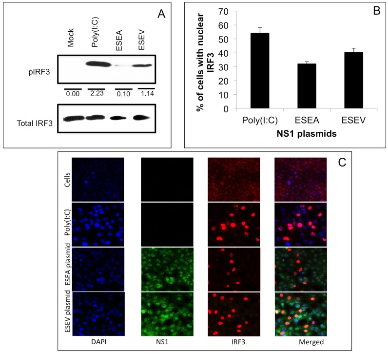 ESEV PBM impairs NS1 inhibition of phosphorylation and nuclear localization of IRF3. A). A549 cells were transfected with wt (ESEV) or PBM mutant (ESEA) NS1 expression plasmids. Cells were re-transfected with poly(I:C) 24 hours later, cell extracts were prepared after 24 hours and levels of phosphorylated IRF3 were evaluated in an immunoblot. Mock-transfected cells were also analyzed. Densitometry was performed with ImageJ software. Values shown are normalized to corresponding total IRF3 levels. B) Percentages of cells with nuclear localized-IRF3 were quantified in three independent experiments by manually counting as described in Materials and Methods and panel C below. A minimum 200 cells were examined in each experiment to quantify IRF3 nuclear localization. Error bars represent the standard error of the mean. Statistical difference in effects of NS1 plasmids was determined by student t-test in all the experiments. C). A549 cells were transfected with a wt or mutant ESEA NS1 expression plasmid (with intact CPSF30 binding site). After 24 hours of transfection, cells were activated by transfection of poly(I:C). After 20 hours of activation, cells were processed for immunofluorescence. Nuclei were stained with DAPI; IRF3 is shown as red, and NS1 is shown as green. A representative immunofluorescence images is shown from three independent experiments.