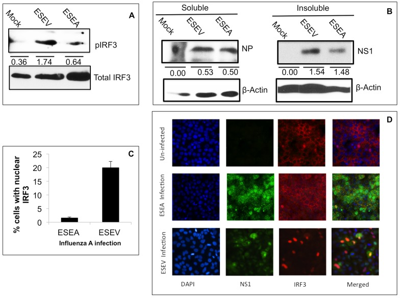 ESEV PBM impairs activation of IRF3 during infection. A). A549 cells were infected at an m.o.i. of 1 with an H3N2 influenza A virus that expresses either an H6N6 NS1protein with the wt ESEV PBM or mutant ESEA PBM virus. Cell lysates were prepared at the 6 hours post-infection and phosphorylated and total IRF3 levels were quantified in an immunoblot. Densitometry was performed with ImageJ software and the pIRF3 levels were normalized to total IRF3. B. A549 cells were infected with indicated viruses and at 6 hours post-infection cell lysates were prepared and separated into soluble and insoluble fractions as described in Materials and Methods ; levels of viral NP and NS1 proteins in cell fractions were quantified with ImageJ software and normalized to β-actin levels in the corresponding sample. C) A549 cells were infected an m.o.i. of 1 with an H3N2 influenza A virus that expresses either an H6N6 NS1protein with the wt ESEV PBM or mutant ESEA PBM virus. Percentages of cells with nuclear localized-IRF3 were quantified by manually counting as described in Materials and Methods for three independent experiments. A minimum 200 cells were examined to quantify IRF3 nuclear localization. Error bars represent the standard error of the mean. Statistical difference in effects of NS1 plasmids was determined by student t-test in all the experiments. D). A representative immunofluorescence images used for quantitation in panel C is shown.