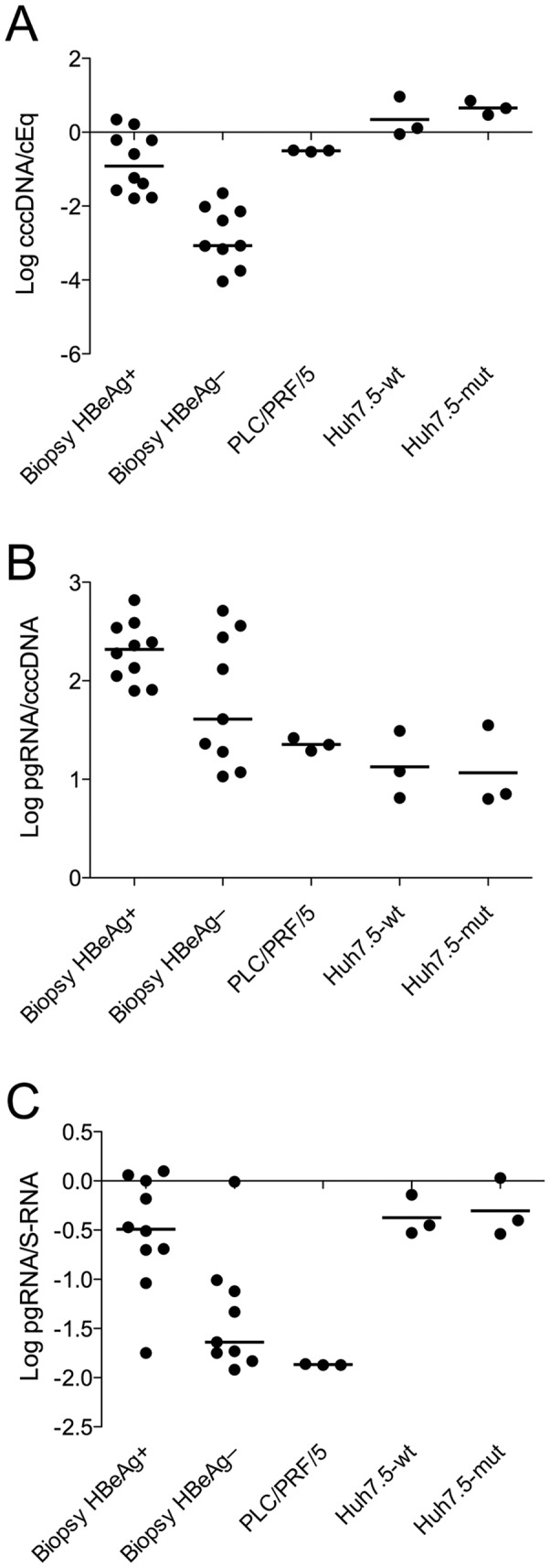 Levels of cccDNA and HBV RNA in vivo and in vitro. The cccDNA levels (A) and pgRNA per cccDNA (B), as well as pgRNA/cccDNA ratios (C) were higher in liver tissue from HBeAg-positive as compared with HBeAg-negative patients. In PLC/PRF/5 cells, the cccDNA PCR amplifies integrated HBV DNA (a segment containing the promoter for pgRNA). In these cells which contain multiple integrations of the S region, the pgRNA/S-RNA ratio was low (C). In Huh7.5 cells, the cccDNA levels, pgRNA per cccDNA and ratio between pgRNA and S-RNA were similar in cells transfected with HBV without or with mutations in the core promoter region, indicating that these mutations have low impact on pgRNA transcription.