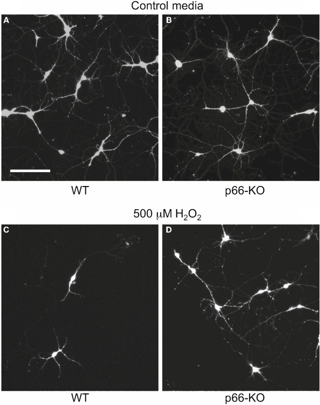 p66-KO neurons show greater preservation of neuronal structure compared to WT neurons following H 2 O 2 treatment. Representative images of week-old p66-KO and WT neurons at 24 h post-treatment with either control media (A,B) or 500 μM H 2 O 2 (C,D) ; viable cells have been fluorescently labeled with Calcein AM. Images were taken with a wide-field inverted fluorescence microscope using a 10X objective. Note the greater percentage of viable neurons in the p66-KO culture (D) compared to the WT culture (C) (Bar in A = 50 μm).