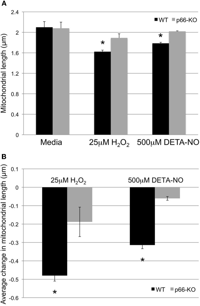 p66-KO axonal mitochondria show greater preservation of mitochondrial length following oxidative stress. Mitochondrial morphology changes in week-old p66-KO and WT neurons were compared following treatment with either 25 μM H 2 O 2 , 500 μM DETA-NO, or control media for 1 h. Mitochondria were labeled with mito-GFP for visualization and quantification of morphology changes following treatment. (A) p66-KO and WT axonal mitochondria were similar in length following treatment with control media (WT 2.10 ± 0.11 μm, p66-KO 2.08 ± 0.12 μm). Following treatment with H 2 O 2 , axonal mitochondrial length was significantly more preserved in p66-KO neurons (1.89 ± 0.08 μm) compared to WT neurons (1.62 ± 0.03 μm). Similarly, following treatment with DETA-NO, axonal mitochondrial length was significantly more preserved in p66-KO neurons (2.02 ± 0.01 μm) compared to WT neurons (1.79 ± 0.02 μm). (B) Quantification of mitochondrial morphology changes following oxidative challenges demonstrated that p66 elimination in neurons was associated with significantly less changes in axonal mitochondrial length (H 2 O 2 = −0.19 ± 0.08 μm; DETA-NO = −0.06 ± 0.01 μm) compared to WT axonal mitochondria (H 2 O 2 = −0.48 ± 0.03 μm; DETA-NO = −0.31 ± 0.02 μm). ( * = p