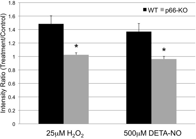 p66-KO neurons generate less ROS following exposure to oxidative stress. Week-old p66-KO and WT neurons were treated with either 25 μM H 2 O 2 , 500 μM DETA-NO, or control media for 1 h, and assessed for changes in mitochondrial ROS levels. Mitochondria were visualized with mito-GFP labeling, and mitochondrial ROS was visualized following Mitosox (a fluorescent reporter of mitochondrial superoxide) incubation. Following H 2 O 2 treatment, p66-KO neurons showed significantly less increases in mitochondrial ROS levels compared to WT neurons (p66-KO = 1.03 ± 0.03X; WT = 1.48 ± 0.12X). Similarly, following DETA-NO treatment, p66-KO neurons showed significantly less increases in mitochondrial ROS levels compared to WT neurons (p66-KO = 0.96 ± 0.04X; WT = 1.37 ± 0.12X). ( * = p