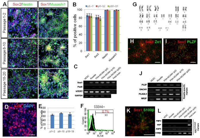 """Maintenance and characterization of hNPC PSA-NCAM+ . (A–B) Neural markers (Sox1, Sox2, Nestin, and Musashi1) were extensively and consistently expressed throughout multiple passages. (C) RT-PCR analysis shows that the expression of Sox1 and Pax6 were sustained from the neural rosette stage to hNPC PSA-NCAM+ ; furthermore, hTERT was continuously expressed throughout the maintenance culture. (D–E) During multiple passages, about 70% of cultured cells were positive for Ki67, supporting their self-renewing potential. (F) At passage 9, SSEA4-positive cells were rarely detected. (G) hNPC PSA-NCAM+ exhibited a normal karyotype at passage 20. (H–J) Along with Zo-1 expression in the lumen-side of the rosette structure (H), co-expression of PLZF with Sox1 (I) as well as prominent expression of """"neural rosette-specific"""" genes (J) indicate that hNPC PSA-NCAM+ exhibited the characteristics of typical neural rosette cells. (K–L) Although NPs did not express either PMP2 or HOP , they did express AQP4 and S100β to some extent, which were proposed to be specifically expressed in FGF/EGF-expanded neural cells (NPC FGF/EGF ). Scale bars: 50 µm."""