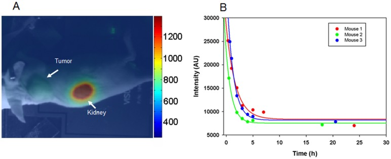 Distribution and kinetics of fluorescence signal in mice with HER2-positive tumor injected with