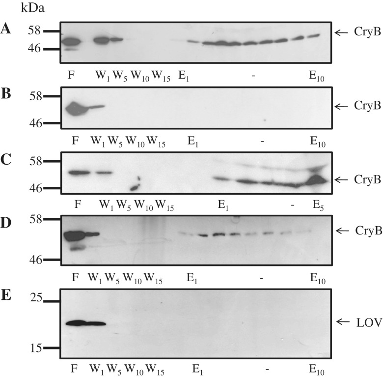 In vitro interaction of CryB and AppA. Western blots of 12% SDS–PAGE from [glutathione S transferase (GST)- and MBP-] pull-down assays using a CryB-specific antibody (A–D) or a LOV-specific antibody (E). ( A ) AppA-MBP protein bound to amylose–agarose and incubated with cell lysate from R.s. Δ cryB (pRK pufcryB ). ( B ) Incubation of cell lysate from R.s. Δ cryB (pRK pufcryB ) with amylose–agarose. ( C ) GST-AppAΔN bound to glutathione-sepharose and incubated with cell lysate from R.s. Δ cryB (pRK pufcryB ). ( D ) GST-SCHIC bound to glutathione–sepharose and incubated with cell lysate from R.s. Δ cryB (pRK pufcryB ). ( E ) AppA-MBP protein bound to amylose–agarose and incubated with cell lysate from R.s. 2.4.1(pRK puflov ). F, cell lysate flow through; W, washing fractions (same volume as F); E, elution fractions (same volume as F).
