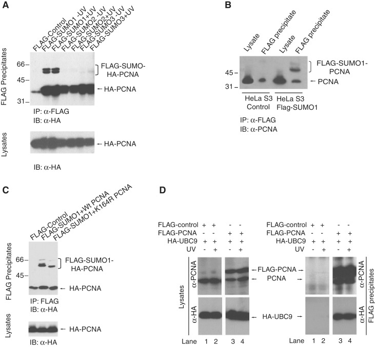 In vivo SUMO modification of human PCNA. ( A ) HEK293T cells were co-transfected with HA-PCNA, His-UBC9 and either FLAG-SUMO1, or FLAG-SUMO2, or FLAG-SUMO3. In 48 h, post-transfection cells were UV-treated (30 J/m 2 ) or mock-irradiated and, after 3 h lysed and immunoprecipitated on FLAG-beads. FLAG-SUMO precipitates were immunoblotted with anti-HA antibody to detect PCNA and the SUMO-modified forms of PCNA. The lower panel shows the anti-HA western blot of the lysates. ( B ) Cell lysates and FLAG immunoprecipitates from control HeLa S3 cells and HeLa S3 cells stably expressing FLAG-SUMO1 were immunoblotted with anti-PCNA antibody to detect SUMOylated forms of endogenous PCNA. ( C ) HEK293T cells were co-transfected with FLAG-SUMO1, His-UBC9 and either HA-PCNA or K164R PCNA and 48-h post transfection cells were lysed and immunoprecipitated on FLAG-beads. FLAG-SUMO1 precipitates were immunoblotted with anti-HA antibody to detect the effect of the K164R mutation on the SUMOylation of PCNA. ( D ) Interaction of PCNA with UBC9 was tested by co-expressing FLAG-PCNA and HA-UBC9 in HEK293 cells followed by FLAG immunoprecipitation and then by western blot analysis with anti-HA and anti-FLAG antibodies for UBC9 and PCNA, respectively.