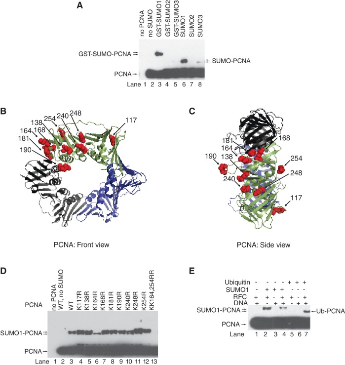 In vitro SUMO modification of human PCNA. ( A ) in vitro SUMOylation reaction of human PCNA (40 nM) was carried out in the presence of purified SAE1/2 (10 nM), Ubc9 (100 nM), RFC (10 nM) nicked PUC19 plasmid DNA (2 nM) and either GST-SUMO1, or GST-SUMO2, or GST-SUMO3, or SUMO1, or SUMO2, or SUMO3 (500 nM) at 37°C for 60 min. Samples containing unmodified and SUMOylated PCNA were separated on 10% denaturing polyacrylamide gel and visualized by western blot using anti-PCNA antibody. Structure of human PCNA from the front ( B ) and side ( C ) views; surface lysine residues are represented by red spheres (K117, K138, K164, K168, K181, K190, K240, K248 and K254). PCNA structures showing the surface lysine residues were generated using the PyMOL version 0.96 by DeLano scientific ( http.//www.pymolsourceforge.net ). ( D ) Wild-type and lysine point-mutant PCNA samples were subjected to in vitro SUMOylation reaction as described above. ( E ) In vitro SUMOylation and ubiquitylation reactions of PCNA were compared in the absence or presence of combinations of RFC and nicked plasmid DNA as indicated.