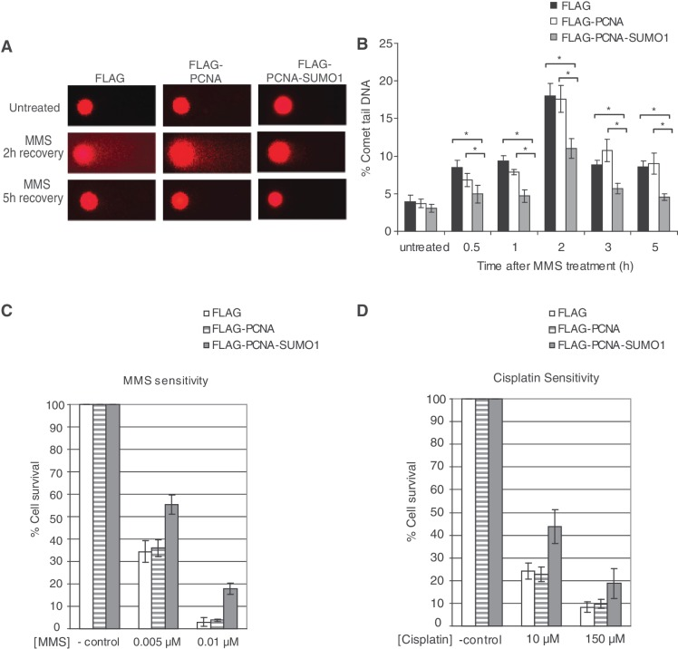 SUMO modification of PCNA limits MMS-induced DNA DSB formation and effects DNA damage sensitivity. ( A ) Representative images of HeLa cells stably expressing FLAG, FLAG-PCNA or FLAG-PCNA-SUMO1 either untreated or 2 and 5 h after MMS treatment subjected to comet assay under neutral conditions. ( B ) Percentage of comet tail DNA, a measure of DNA DSBs, at 0.5, 1, 2, 3 and 5 h after MMS treatment were calculated from three independent experiments using three independent stable cell lines; error bars show standard deviations. Significant difference was detected between the levels of double stand breaks of FLAG FLAG-PCNA-SUMO1, FLAG-PCNA and FLAG-PCNA-SUMO1 expressing cell lines * P