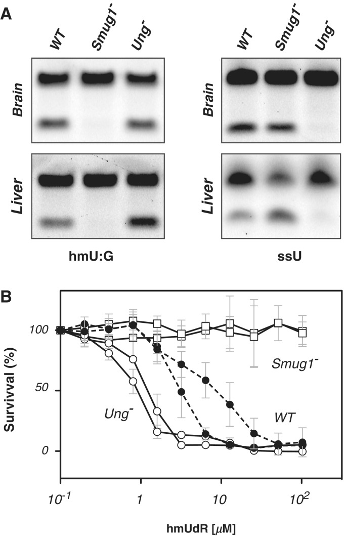 Smug1 inactivation ablates hmU excision activity and gives resistance to hmUdR. ( A ) Analysis of base excision activity in brain and liver nuclear extracts from wild-type (WT), Ung −/− and Smug1 −/− mice assayed on a 3′-fluorescently labelled double-stranded oligodeoxyribonucleotide substrate containing a centrally placed hmU:G mispair (left), as well as on a single-stranded 3′-fluorescently labelled substrate containing a single centrally placed U as an UNG activity control. Excision creates an abasic site that is subject to cleavage by APE1; cleavage products of the 3′-fluorescently labelled oligonucleotides were visualized after polyacrylamide gel electrophoresis. Similar results regarding a loss of hmU-excision activity were obtained on assaying multiple different tissues from Smug1 −/− mice of different ages. ( B ) Effects of a 48-h culture in the presence of various concentrations of hmUdR on the viability of embryo fibroblast cell-lines derived from mice of different genotypes. Survival is expressed relative to that obtained in the absence of hmUdR. The results are shown for triplicate assays performed on two independently derived cell-lines for each indicated genotype.