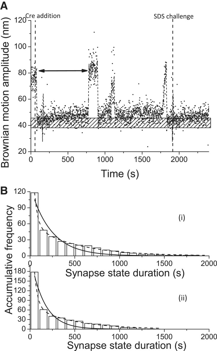 Kinetic analysis of the dwell time in the synapse state. ( A ) The BM time-trace of a 1267 bp DNA molecule containing parallel lox P sites in response to the addition of Cre recombinase. The dashed lines indicate the addition of Cre recombinase and 0.05% SDS after 30 min of incubation time. The bar with the punctuate pattern indicates the average BM value of the expected excision recombinant product. ( B ) (i) The distribution of the dwell time in the synapse state, indicated by the double-arrowed line in the above time trace, for DNA molecules containing parallel lox P sites was pooled to construct a histogram, and the rate constants were obtained by fitting to either a single exponential decay algorithm [ R 2 = 0.91, k 1 = (4.4 ± 0.5) × 10 −3 s −1 , n = 118] or a bi-exponential decay algorithm [ R 2 = 1.00, k 1 = (2.7 ± 0.5) × 10 −2 s −1 , A 1 = 0.80; k 2 = (2.0 ± 0.1) × 10 −3 s −1 , A 2 = 0.20, n = 118]. Solid and dashed lines are used to represent single and bi-exponential fitting curves, respectively. (ii) The distribution of the dwell time in the synapse state, indicated by the double-arrowed line in the above time trace, for DNA molecules containing inverse lox P sites was pooled to construct a histogram, and the rate constants were obtained by fitting to either a single exponential decay algorithm [ R 2 = 0.91, k 1 = (6.5 ± 0.9) × 10 −3 s −1 , n = 178] or a bi-exponential decay algorithm [ R 2 = 1.00, k 1 = (2.7 ± 0.6) × 10 −2 s −1 , A 1 = 0.85; k 2 = (2.2 ± 0.2) × 10 −3 s −1 , A 2 = 0.15, n = 178]. Solid and dashed lines are used to represent single and bi-exponential fitting curves, respectively. The N mentioned above is the number of events observed. The error is within the 95% CL.