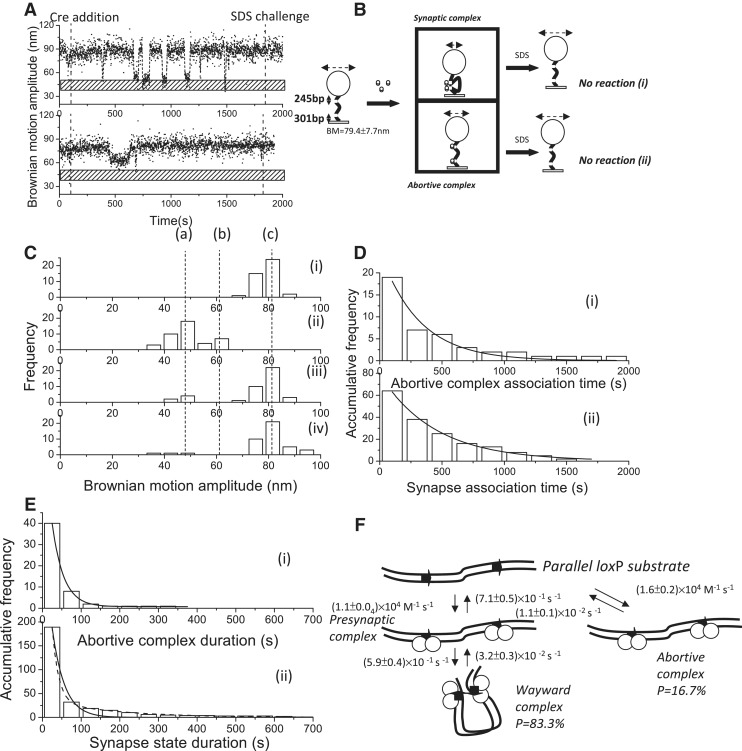 Complex formation and recombination events of 1267 bp DNA molecules containing parallel loxP sites mediated by cleavage-deficient CreY324F . ( A ) (i)–(ii) A change in the BM amplitude of 1267 bp DNA molecules containing parallel lox P sites in response to the addition of CreY324F. (i) An example of a molecule that synapsed but failed to continue to the recombination process. (ii) An example of a molecule that failed to synapse within the duration of the observations. ( B ) The reaction scheme of the Cre-mediated site-specific recombination process in a 1267 bp DNA molecule containing parallel lox P sites. The initial substrate is a 1267 bp DNA molecule containing parallel lox P sites with an average BM value of 79.4 ± 7.7 nm. Two complexes are formed after the addition of Cre recombinase. The first complex is the synaptic complex, corresponding to the formation of a Cre tetramer with an average BM value of 47.5 ± 9.4 nm. The other complex is the abortive complex that failed to synapse within the duration of observations, corresponding to the association of Cre dimers with lox P sites, with an average BM value of 62.0 ± 4.2 nm. When 30 μl of 0.05% SDS was added after 30 min of incubation time, the reaction was stopped. Two different outcomes were observed: (i) a molecule that synapsed but lacked the strand-cleavage capability to complete recombination and returned to the original DNA substrate; and (ii) a molecule that failed to synapse within the duration of observations and eventually returned to the original DNA substrate. ( C ) (i) The distribution of the BM amplitude before the addition of Cre recombinase, with an average value of 79.4 ± 7.7 nm, which is indicated with (c). (ii) The distribution of the BM amplitude in response to the addition of Cre recombinase (62.0 ± 4.2 and 47.5 ± 9.4 nm for the abortive complex state and the synapse state, marked with (b) and (a), respectively). (iii) The distribution of the BM amplitude after 30 min of incubation time. (iv