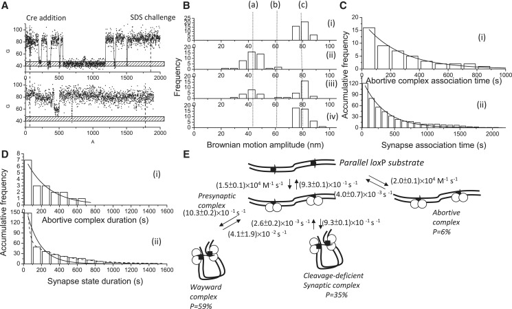 Complex formation and recombination events for 1267 bp DNA molecules containing parallel loxP sites mediated by cleavage-deficient CreK201A. ( A ) (i)–(ii) A change in the BM amplitude of 1267 bp DNA molecules containing parallel lox P sites in response to the addition of CreK201A. (i) An example of a molecule that synapsed but failed to continue to the recombination process. (ii) An example of a molecule that failed to synapse within the duration of the observations. ( B ) (i) The distribution of the BM amplitude before the addition of Cre recombinase, with an average value of 78.8 ± 10.2 nm, which is indicated with (c). (ii) The distribution of the BM amplitude in response to the addition of Cre recombinase (61.0 ± 1.3 nm and 44.0 ± 12.0 nm for the abortive complex state and the synapse state, marked with (b) and (a), respectively). (iii) The distribution of the BM amplitude at 30 min of incubation time. (iv) The distribution of the BM amplitude in response to the SDS challenge at 30 min of incubation time ( n = 43). ( C ) The distribution of the dwell times between recombinase addition and the change in the BM amplitude to (i) a value that represented the abortive complex state and an association rate constant of (2.0 ± 0.1) × 10 4 M −1 s −1 ( R 2 = 0.98, n = 16) and to (ii) a value that represented the synapse state and an association rate constant of (1.5 ± 0.1) × 10 4 M −1 s −1 ( R 2 = 0.98, n = 121) were obtained. The data were fitted to a single exponential decay algorithm (Origin 8.0). The N mentioned above is the number of molecules observed. ( D ) (i) The dwell times in the abortive complex state for the DNA molecules containing parallel lox P sites that failed to synapse during the observations were pooled and then fitted to a single exponential decay algorithm [ R 2 = 0.98, τ 1 = (4.0 ± 0.7) × 10 −3 s −1 , n = 7]. (ii) The distribution of the dwell times in the synapse state was fitted to either a single exponential decay algorithm [ R 2 = 0.98, k 1 = (