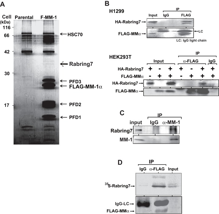 Identification of Rabring7 as an MM-1-binding protein. A . Proteins prepared from H1299 cells and F-MM-1-expressing H1299 cells were immunoprecipitated with an anti-FLAG antibody, and the precipitates were subjected to TOF-MS analyses as described in Experimental procedures. B . H1299 cells (upper panel) and HEK293 cells (lower panel) were transfected with various combinations of expression vectors for HA-Rabring7 and FLAG-MM-1α. At 48 hrs after transfection, proteins prepared from cells were immunoprecipitated with an anti-FLAG antibody or with IgG, and the precipitates were analyzed by Western blotting with anti-HA and anti-FLAG antibodies. C . Proteins prepared from HEK293T cells were immunoprecipitated with an anti-MM-1 antibody or with IgG, and the precipitates were analyzed by Western blotting with anti-Rabring7 and anti-MM-1 antibodies. D . FLAG-MM-1 expressed in and purified from E. coli was reacted with 35 S-labeled Rabring7 that had been synthesized by using reticulocyte lysates. Proteins in a reaction mixture were then immunoprecipitated with an anti-FLAG antibody or with IgG, and the precipitates were separated on a gel followed by fluorography.