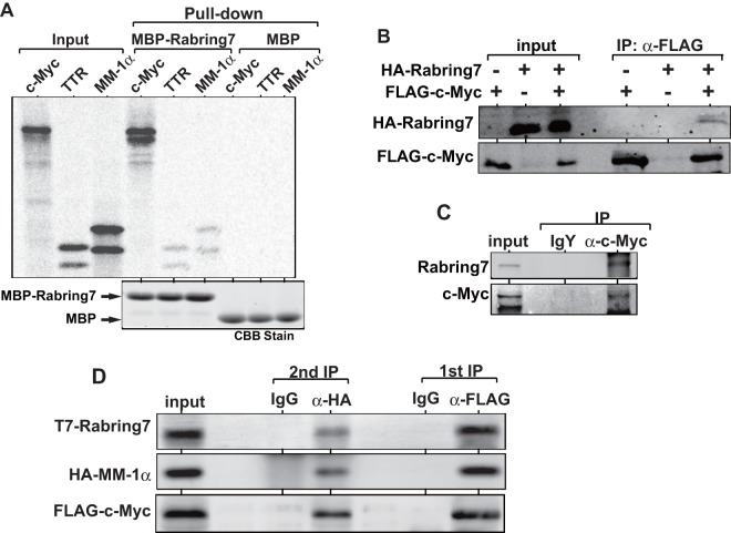 Binding of Rabring7 to c-Myc. A . MBP-Rabring7 or MBP expressed in and purified from E. coli was reacted with 35 S-labeled c-Myc, transthyretin (TTR) and MM-1α, and pull-down assays were carried out as described in Experimental procedures. B . HEK293 cells were transfected with various combinations of expression vectors for HA-Rabring7 and FLAG-c-Myc. At 48 hrs after transfection, proteins prepared from cells were immunoprecipitated with an anti-FLAG antibody, and the precipitates were analyzed by Western blotting with anti-HA and anti-FLAG antibodies. C . Proteins prepared from HEK293T cells were immunoprecipitated with an anti-c-Myc antibody or with IgY, and the precipitates were analyzed by Western blotting with anti-Rabring7 and anti-c-Myc antibodies. D . H1299 cells were co-transfected with expression vectors for T7-Rabring7, HA-MM-1α and FLAG-c-Myc. At 48 hrs after transfection, proteins extracted from cells were immunoprecipitated with an agarose-conjugated anti-FLAG antibody and the proteins bound to agarose bead were eluted with FLAG peptide. The eluted proteins were then immunoprecipitated with an anti-HA antibody and precipitates were analyzed by Western blotting with anti-T7, anti-HA and anti-FLAG antibodies as described in Experimental procedures.