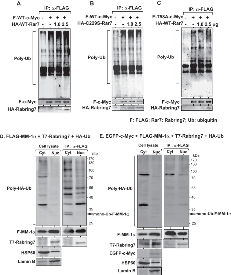 Stimulation of poly-ubiquitination of c-Myc by Rabring7. A and B . <t>HEK293T</t> cells were co-transfected with FLAG-wild-type-c-Myc together with two doses of HA-wild-type Rabring7 (A) or HA-C229S-Rabring7 (B). Forty-four hrs after transfection, 25 μM MG132 was added to the culture medium, and the cells were cultured for an additional 4 hrs. Proteins in cells were then immunoprecipitated with an anti-FLAG antibody, and the precipitates were analyzed by Western blotting with an anti-multi-ubiquitin antibody. C . HEK293T cells were co-transfected with FLAG-T58A-c-Myc together with two doses of HA-wild-type Rabring7 and subjected to ubiquitination assays as described in the legends of Figures 6A and 6B . D. HEK293T cells were co-transfected with FLAG-MM-1α, T7-Rabring7 and HA-ubiquitin. Forty-eight hrs after transfection, total cell lysates were prepared and the cytoplasm and nucleus were fractionated as described in Experimental procedures. Proteins extracted from them were immunoprecipitated with an anti-FLAG antibody and analyzed by Western blotting with anti-HA, anti-FLAG and anti-T7 antibodies. Fractions of the cytoplasm and nucleus were also blotted with anti-HSP60 (SC-6216, Santa Cruz biotechnology, Santa Cruz, CA) and anti-Lamin B (SC-13115, Santa Cruz biotechnology) antibodies. E. HEK293T cells were co-transfected with EGFP-c-Myc, FLAG-MM-1α, T7-Rabring7 and HA-ubiquitin. Proteins were analyzed as described in the legend of Figure 6D .