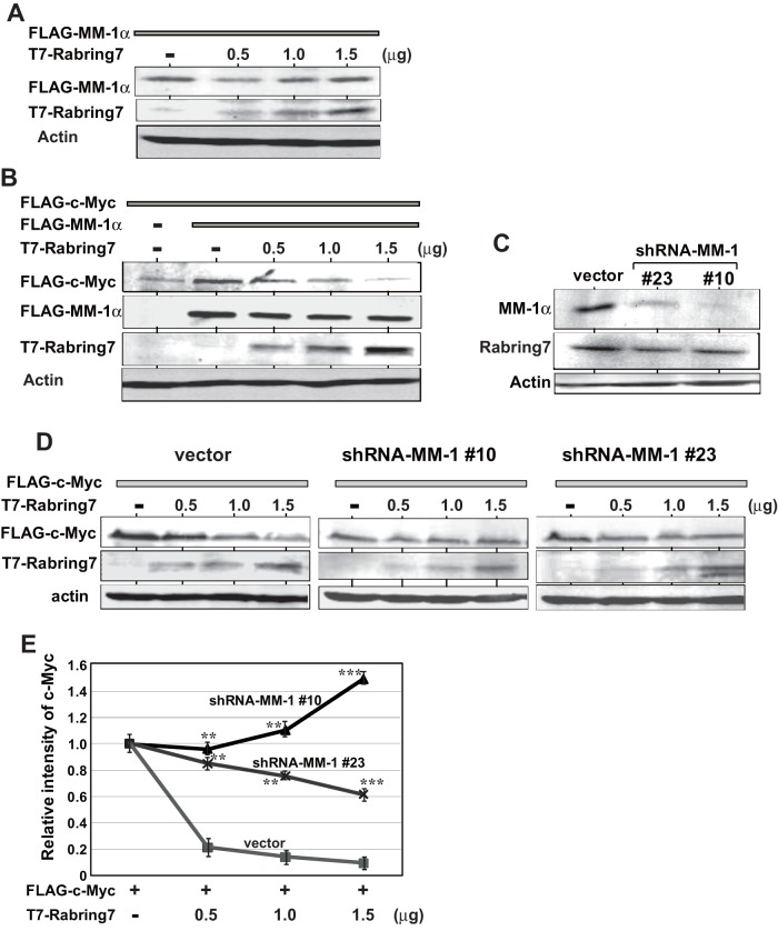 Effect of Rabring7 on stability of c-Myc. A . HEK293T cells were co-transfected with a constant amount of FLAG-MM-1α and with various doses of T7-Rabring7, and proteins in cells were analyzed by Western blotting with anti-T7, anti-FLAG and anti-actin antibodies. B . HEK293T cells were co-transfected with constant amounts of FLAG-MM-1α and FLAG-c-Myc together with various doses of T7-Rabring7, and proteins in cells were analyzed by Western blotting with anti-T7, anti-FLAG and anti-actin antibodies. C . Expression levels of MM-1α, Rabring7 and actin in vector- and MM-1-expressing H1299 cells were analyzed by Western blotting with anti-MM-1, anti-Rabring7 and anti-actin antibodies. D . Vector- and MM-1-expressing H1299 cells were transfected with a constant amount of FLAG-c-Myc and with various amounts of T7-Rabring7. At 48 hrs after transfection, protein in the cells were analyzed by Western blotting with anti-T7, anti-FLAG and anti-actin antibodies. E . The intensity of bands corresponding to FLAG-c-Myc and actin in Fig. 6D was quantified, and relative intensity of FLAG-c-Myc to that of actin is shown. Values are means ± S.D. n = 3 experiments. Significance: ** p