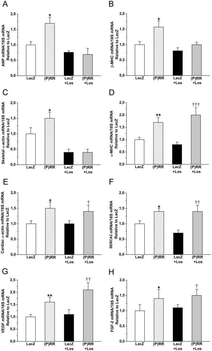 Effect of intramyocardial (P)RR gene delivery on cardiac gene expression without or with the losartan (Los) treatment. A, atrial natriuretic peptide (ANP) mRNA, B, β-myosin heavy chain (β-MHC) mRNA, C, skeletal α-actin mRNA, D, α-myosin heavy chain (α-MHC), E, cardiac α-actin mRNA, F, sarcoplasmic reticulum Ca 2+ ATPase (SERCA2) mRNA, G, vascular endothelial growth factor (VEGF) mRNA at 2 weeks and H, fibroblast growth factor-2 (FGF-2) mRNA levels at 1 week. The results are expressed as mean±SEM (n = 8 to 10). * P